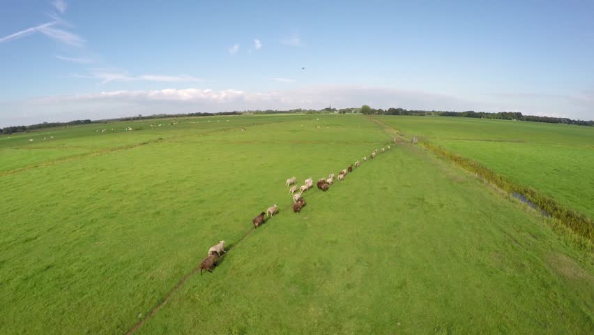 Sheep herding aerial by drone shepherd long footage of UAV moving slowly behind sheep herd sheep walking towards wanted direction and through gate green field beautiful weather blue sky background 4k