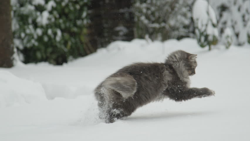 SLOW MOTION CLOSE UP: Beautiful funny grey cat with long fur jumping and catching soft white snow. Happy fluffy domestic cat playing with snowflakes and snowballs in snowy garden for Christmas