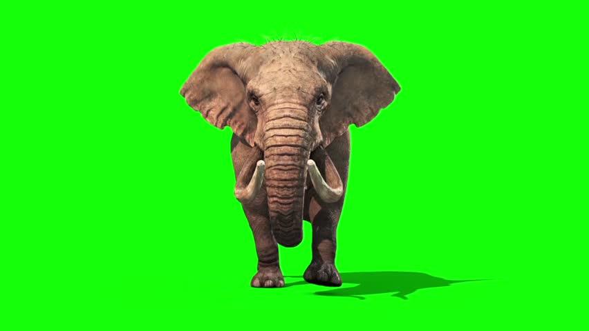 Elephant Walks Static Front Green Screen