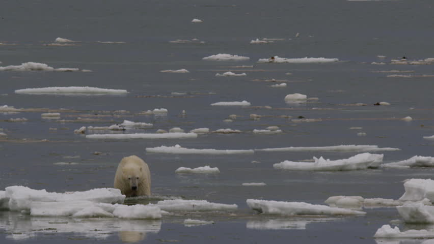 Wet cold polar bear wading through sea ice on cloudy day
