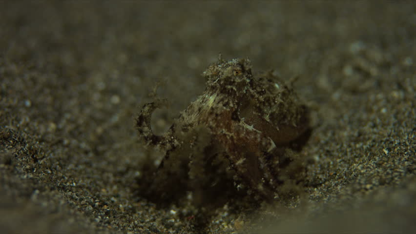 Small Octopus on sandy bottom. Catches some shrimps and fish. 4k footage #20660287