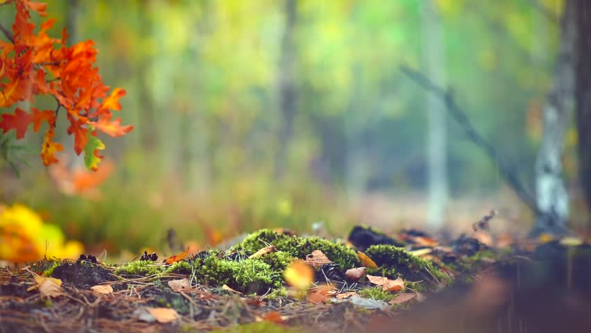Autumn Forest with Rain Background, Stock Footage Video (100