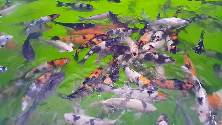 Koi fish. Fancy koi fish. Colorful fish in the pond. Koi carp swimming in the pond | Shutterstock HD Video #20733277