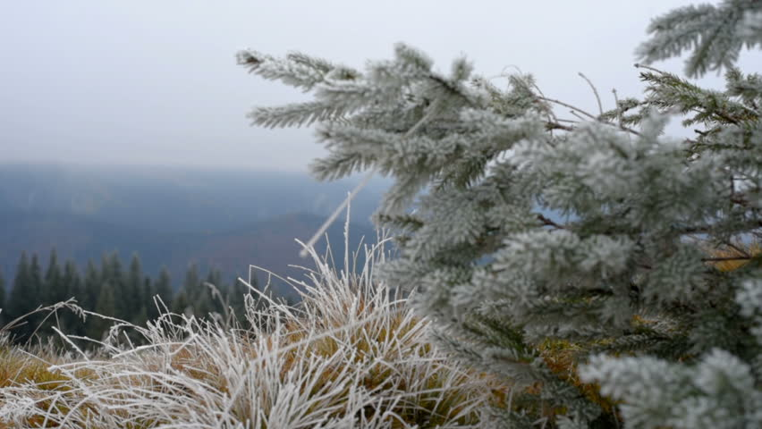 Christmas Tree Scenery Part - 35: Grass Covered With Frost, Wind Shaken. Christmas Tree With Frost. Scenic  Winter Landscape
