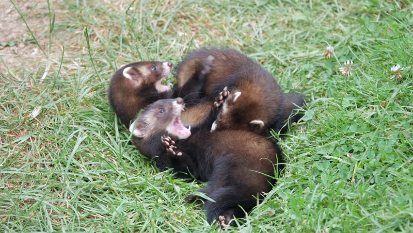Polecat Kits Playing / Fighting
