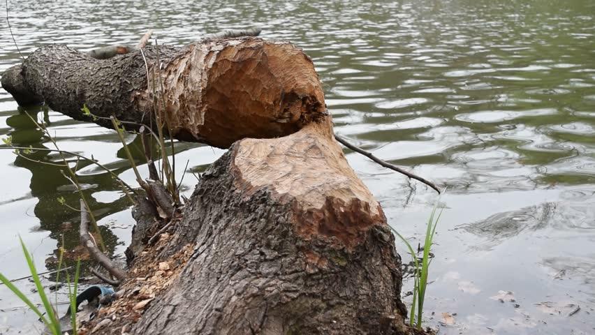 Fallen tree, felled by beavers to make dam