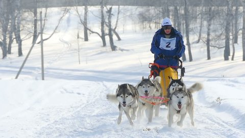 NOVOSIBIRSK, RUSSIAN FEDERATION - FEBRUARY 21: Husky sled dogs with dog-driver participates in competitions in races on sleds, slow motion