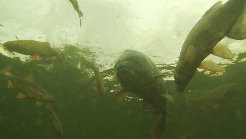 carp under water