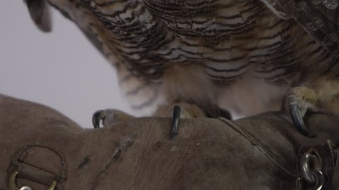 [Great horned owl on leather glove with zookeeper on white background]Great horned owl on leather glove with zookeeper on white background