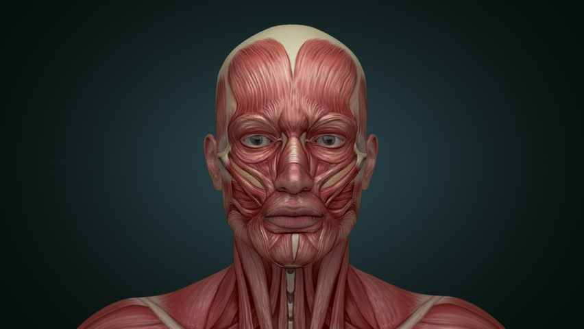 Head Muscular System , Muscles Stock Footage Video (100% Royalty ...