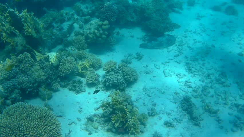 A Giant Puffer Fish swimming up and over corals in the Red Sea #21029857