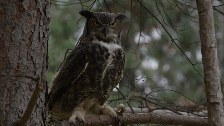 Great horned owl hunting from tree branch