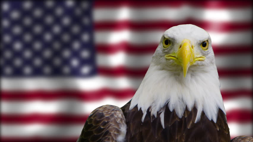 Bald eagle looking into negative space on american flag   #21077617