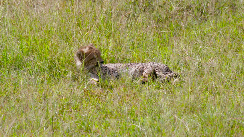 Cheetah Cub Sat In Long Grass; Maasai Mara Kenya Africa