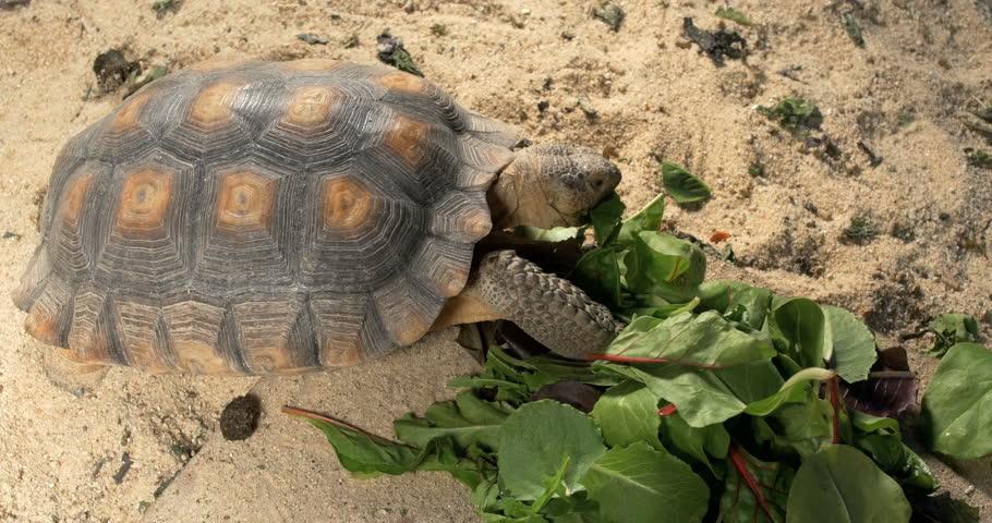 Pet Desert Tortoise Eating Lettuce Stock Footage Video 100