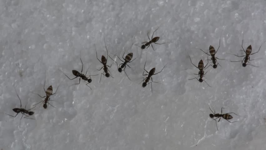 Macro Video Of Small Ants Crawling On A Kitchen Bench Top And