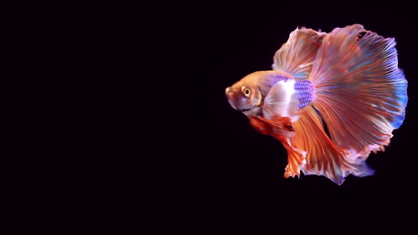Colourful Thai Fighting Fish or better known as Siamese fighting fish Betta Splendens