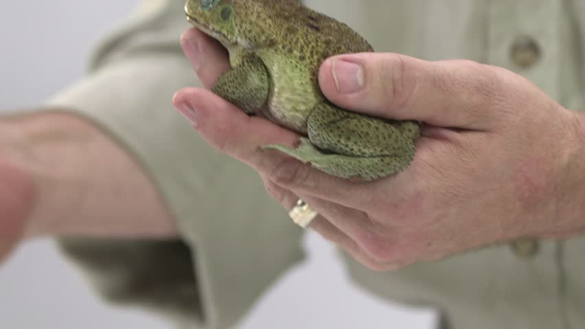 [Cane toad in zookeeper hand]Cane toad in zookeeper hand