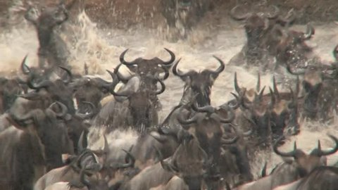 Wildbeests crossing the Mara River