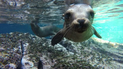 playful sea lion seal underwater while diving underwater
