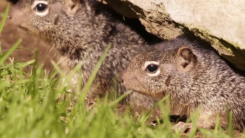 Ground squirrel siblings