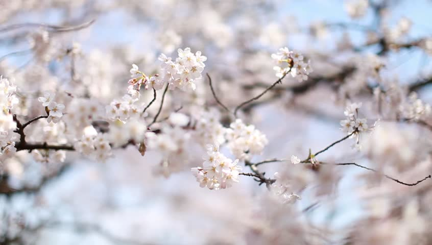 Close up of white sakura flower free stock video footage download from videvo mightylinksfo