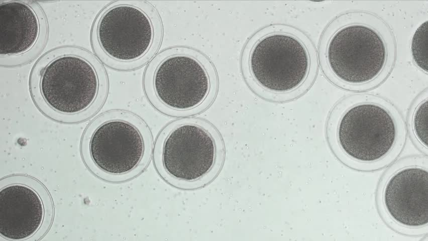 """Sea urchin embryo cell division. """"Beginning cleavage to 2 Cells""""Time lapse movie"""