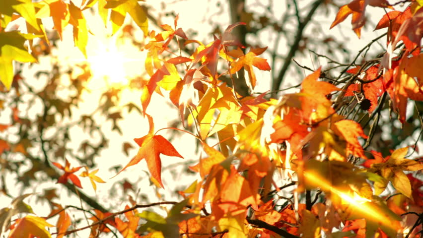 golden and red leaves on a tree in a sunny autumn day video 1920x1080 - Growing Halloween Pumpkins