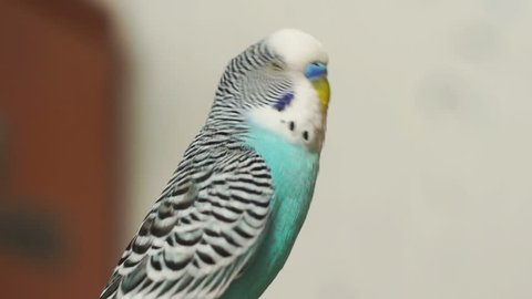 Budgerigar (Melopsittacus undulatus) blue sitting turns his head, blinks and flies away.