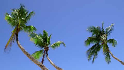 Palm Trees Blowing In Wind; Boracay Island Philippines