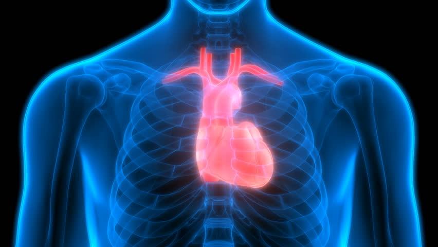 Human Body Organs Heart Anatomy 3d Stock Footage Video 21875944