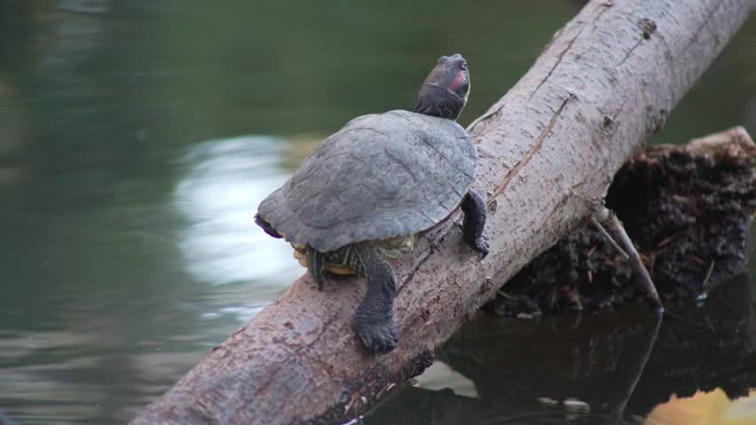 Turtle Slips Off Tree
