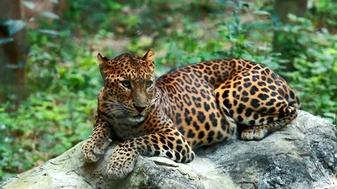 Leopard laying in chiangmai Thailand
