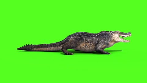 Alligator Crocodile Reptile Static Walks Side Loop Green Screen