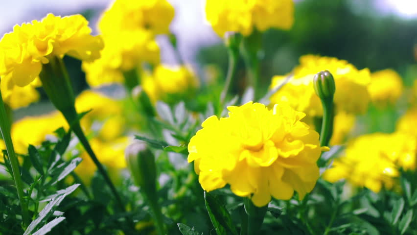 Wallpaper marigolds stock video footage 4k and hd video clips wallpaper marigolds stock video footage 4k and hd video clips shutterstock mightylinksfo