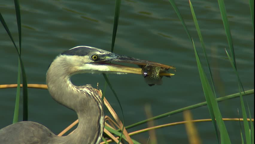 Great blue heron with perch in beak in Eco pond