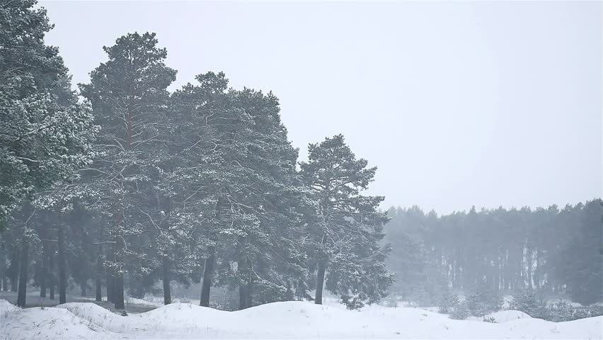 Snowstorm The Woods Blizzard Snowing Winter, Christmas Tree And Nature Pine  Forest Landscape   HD