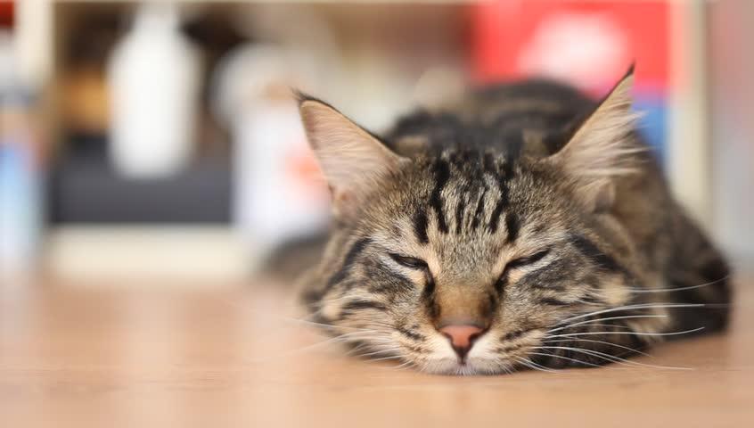 cat sleeping full hd