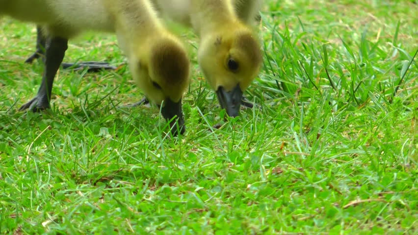 closeup on the beaks and necks of young goslings eating grass