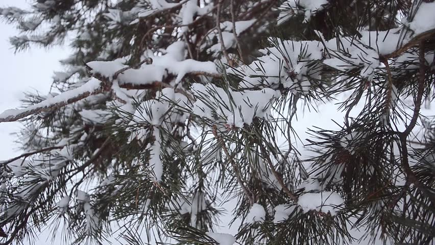 Winter forest, pine branch in snow swinging in the wind, the snow in the forest | Shutterstock HD Video #22404127