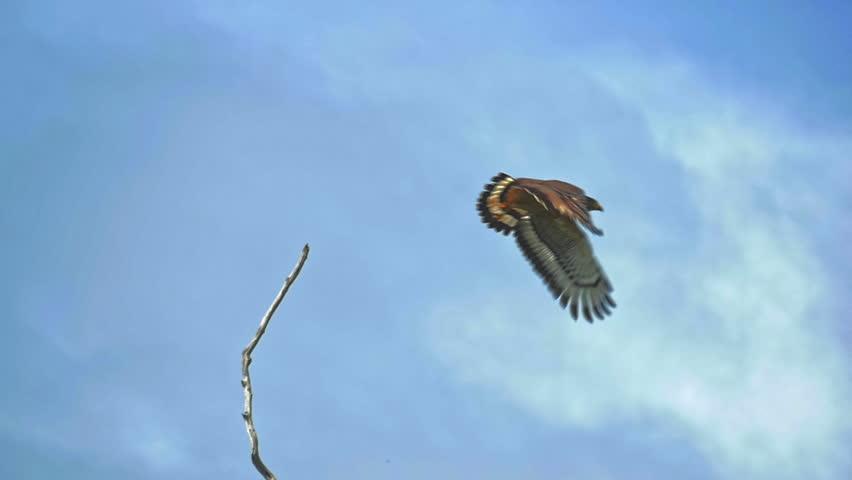 Crested Serpent Eagle (Spilornis cheela) slow motion fly in Sri Lanka wildlife