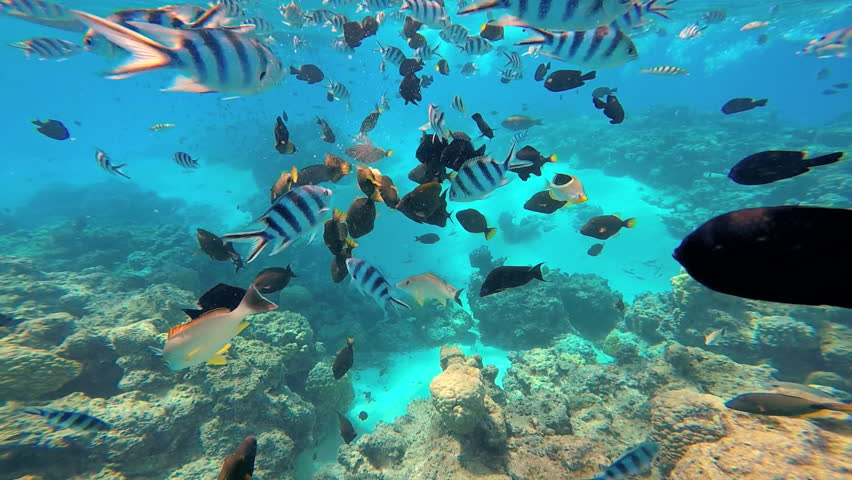 Shoal of tropical fish pacific double saddle for Bora bora fish