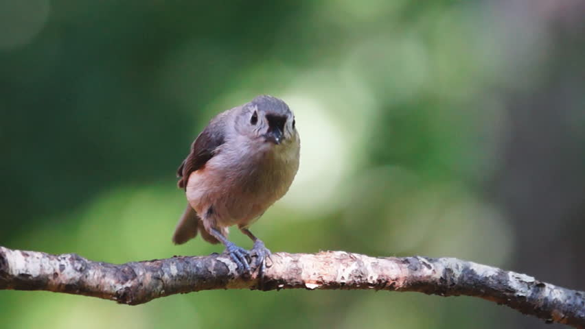 Tufted Titmouse (Baeolophus bicolor) eating seed. Slow-motion, 1/2 natural speed.