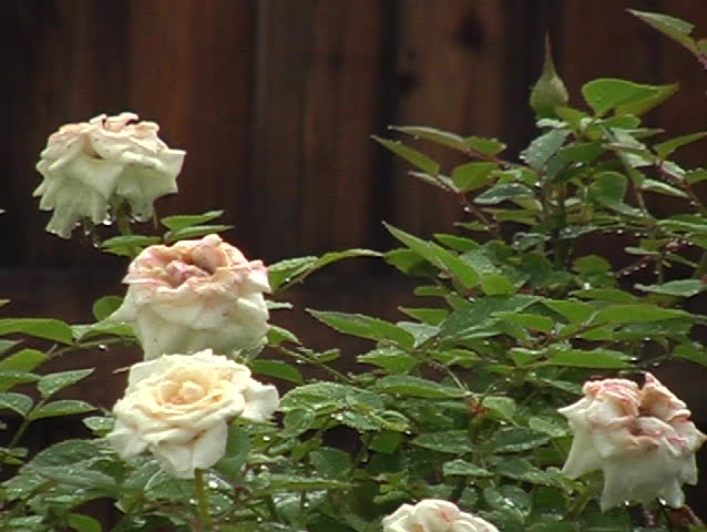 White Roses with Rain Drops | Shutterstock HD Video #225772