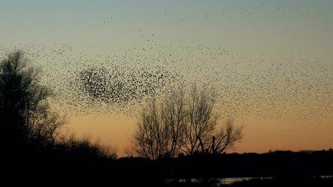 wildlife wonder - murmuration flock of starlings flying  - Gnosall, England - December 2016