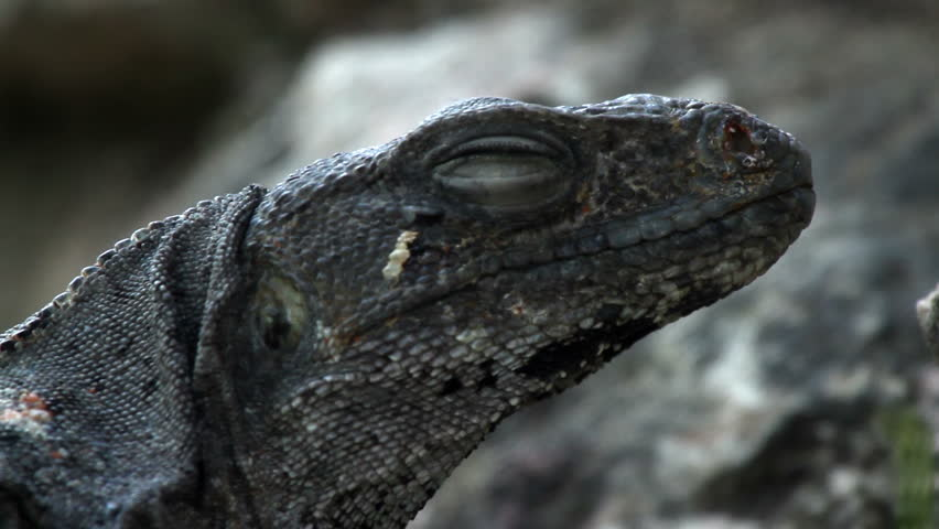 A shot of an iguana in mexico | Shutterstock HD Video #2271527
