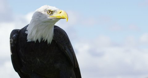 4K Close up of a tethered Bald Eagle in natural environment. Dec 2016-UK