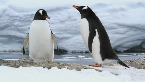 male and relish Gentoo penguins on the future nest site of a spring day