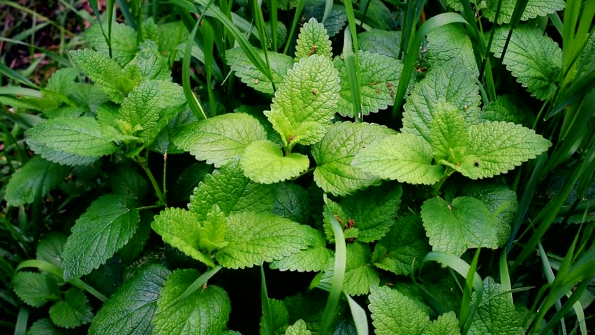 Green lemon balm and grass blades filling the frame stirred by wind. Melissa officinalis.