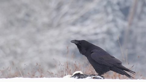 Common raven. Singing bird in winter. Corvus corax.